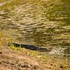 Aligator View
