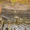 Aligator In The Lake