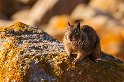 Squirrel tongue