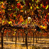 The sun shines through autumn-colored leafs in a California vineyard.