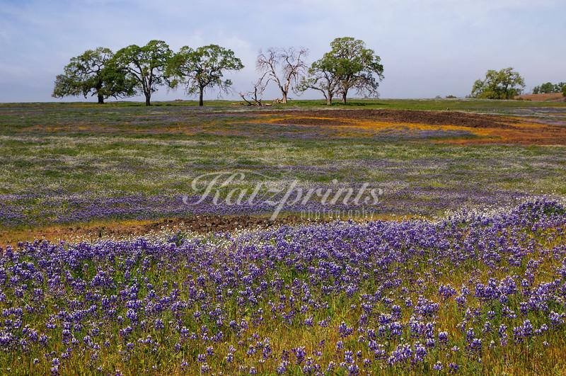 Row of oaks