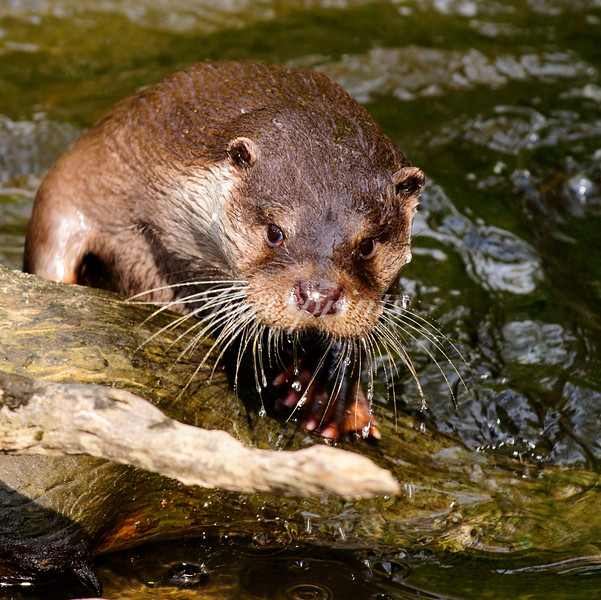 Otter in creek