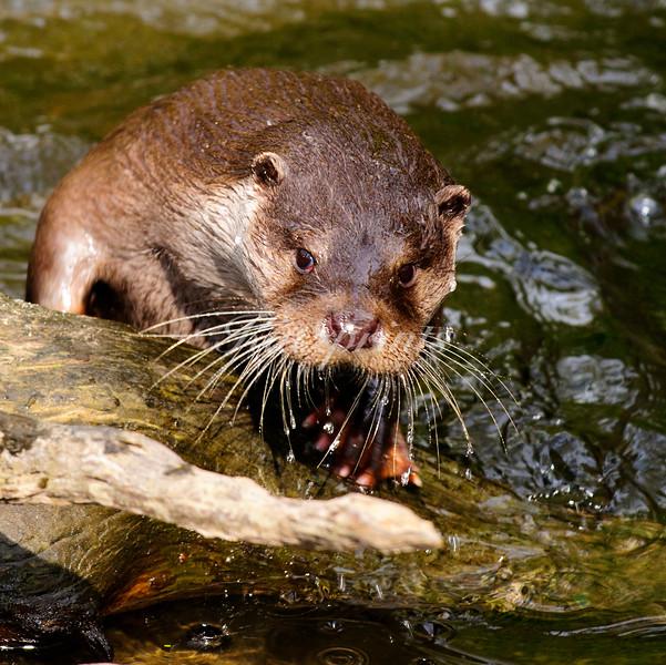 Otter in creek