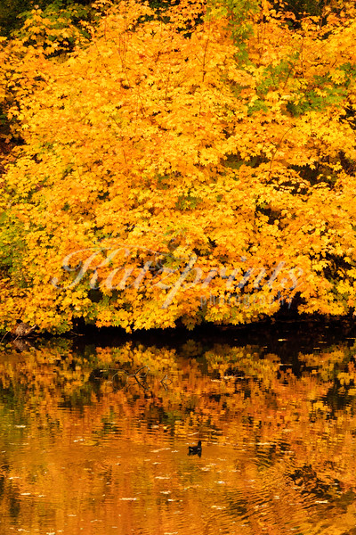 A golden colored Maple tree is reflected in a pond in Germany.