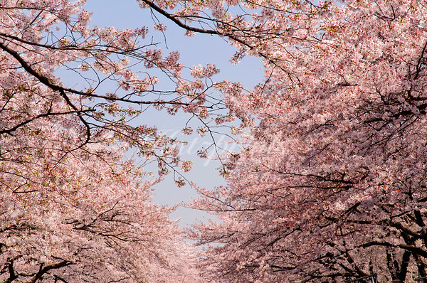 In 2008, I was fortunate enough to be in Japan during the cherry blossom season. For the Japanese, this is a special, much-awaited time of the year which is celebrated with Hanami (blossom viewing) parties everywhere. This shot was taken in Ueno Park, Tokyo; its 1000 cherry trees make this park one of Japan's famous viewing spots.