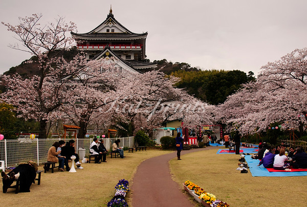 A slight drizzle won't prevent people from having a picnic under the blooming cherry trees at Atami Castle