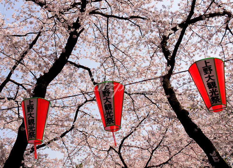 Cherry blossoms and lanterns in Ueno park