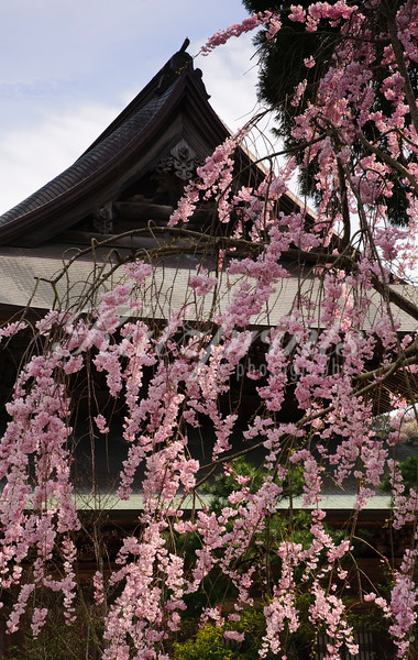 Blooming tree at Kenchō-ji