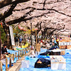 Visitors and locals enjoy the 1000 blooming cherry trees along the main walkway in Ueno park with a stroll or a traditional hanami picnic