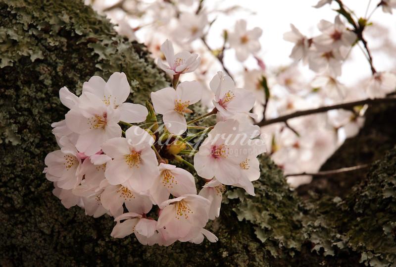 Cherry blossoms at Kenchō-ji temple