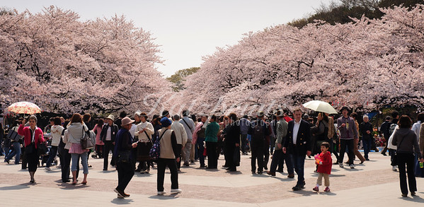 Visitors and locals enjoy a stroll under the blooming cherry trees in Ueno park in Tokyo