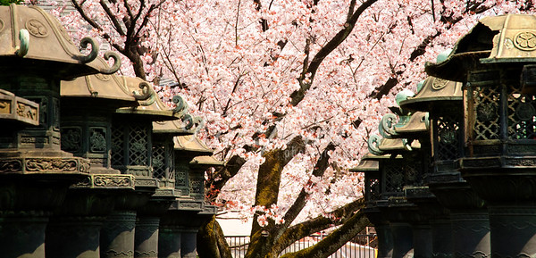 Lanterns and cherry blossoms at Ueno Tōshō-gū shrine in Tokyo