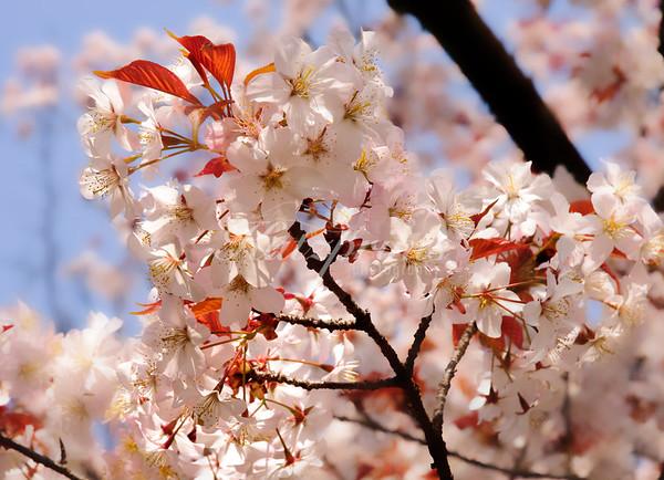 Cherry blossoms at Ueno Tōshō-gū shrine in Tokyo