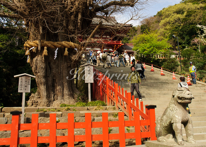 The stairway to the senior shrine at Tsurugaoka Hachiman-gū with the famous 1000 year old ginko tree on the left, which sadly was uprooted by a storm in 2010