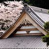 A cherry tree blooms next to a temple in Ajiro