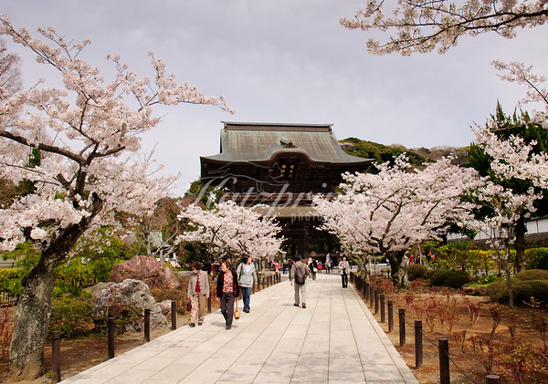 Cherry-tree lined approach to the gate of Kenchō-ji temple