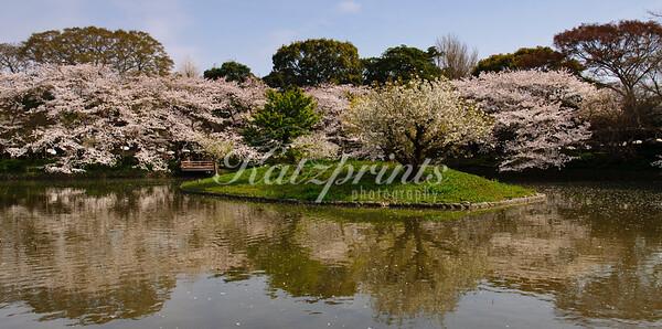 Tree reflection at the Tsurugaoka Hachiman-gū lotus pond