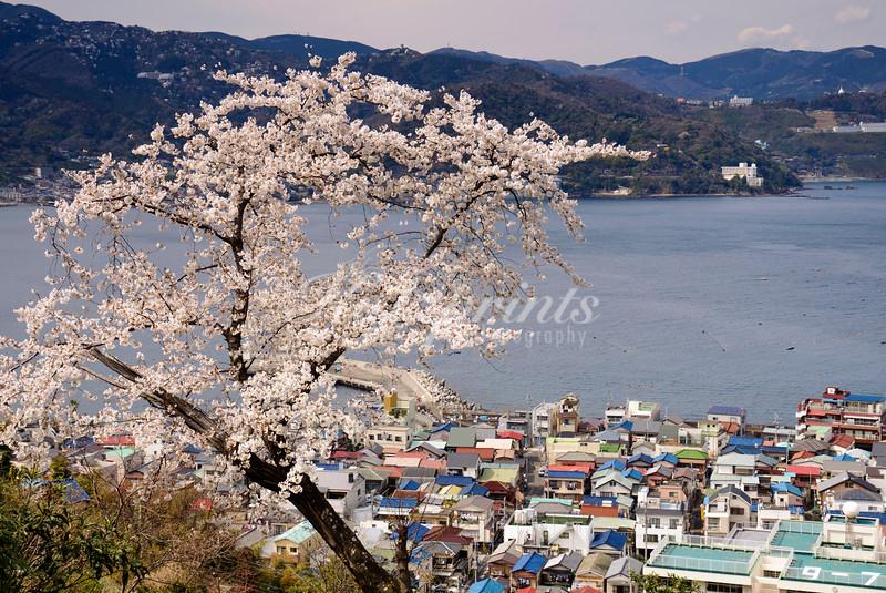 Blooming cherry tree above the harbor of Ajiro