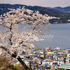 Blooming cherry tree above the harbor of Ajiro