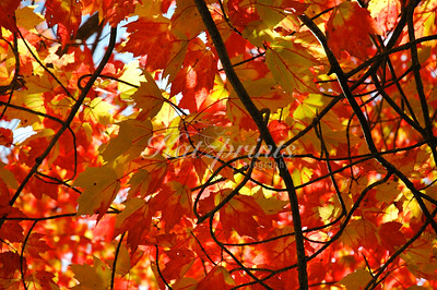 Colorful leaves in Wiscasset, Maine