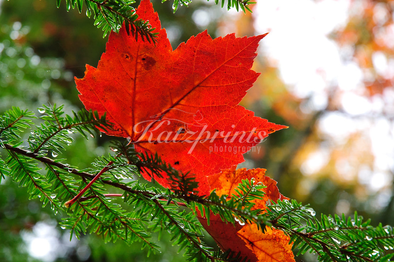 Red Maple leafs fallen on green Pine branches