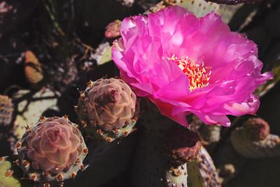 Day 1 - Sunrise Trailhead (Mile 59.5) to Scissors Crossing (Mile 77) - 17.5 trail miles  Beavertail Cactus