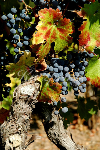Grapes are ready to be harvested in the Mendocino Wine Country.