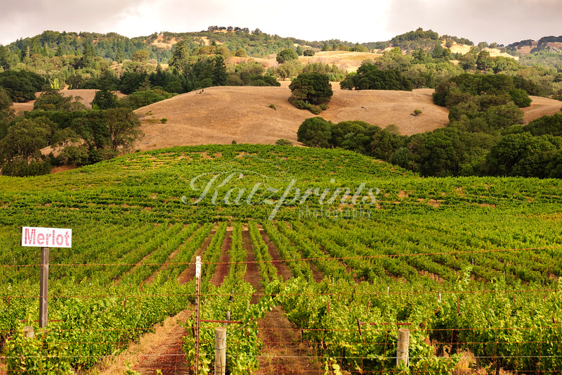 A vineyard with Merlot grapes is situated in the rolling hills of Northern California.