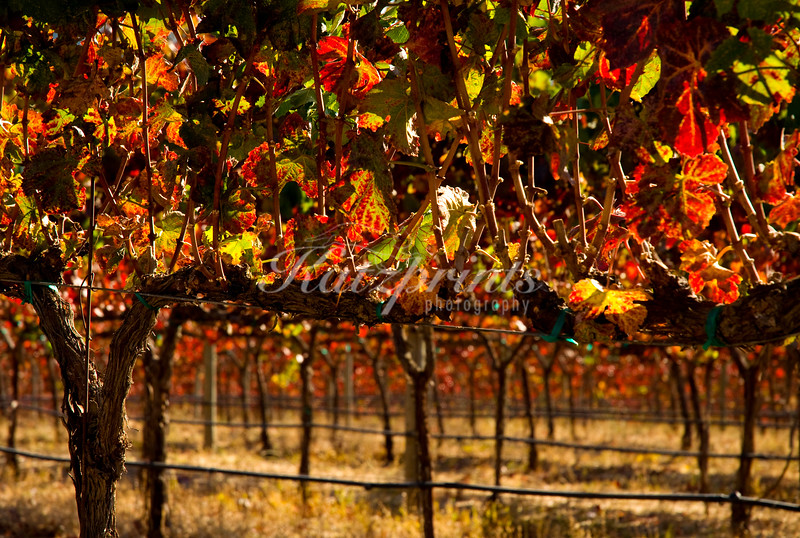 The sun shines through autumn-colored leafs in a California vineyard.