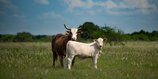 Cow Couple