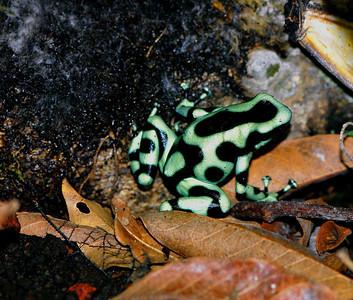 Poison Dart frog, Costa Rica 2008 ak