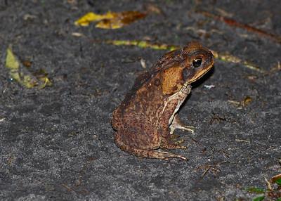 Toad - Guyana