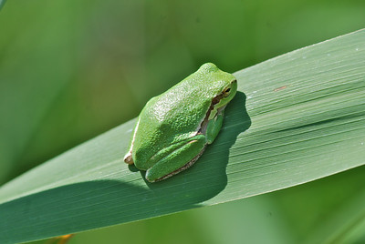 Tree Frog, Camargue South of France 2009 ak