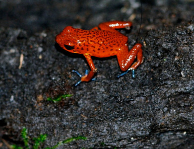 Strawberry Poison Dart Frog, Costa Rica 2008 ak