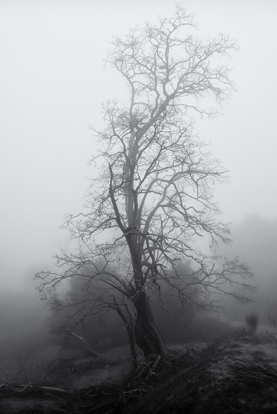 Tree in Winter Fog