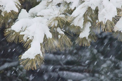 Pinecone Tree / Snow II