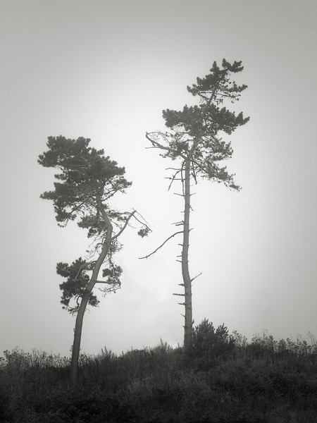 Two Trees in the Fog along Hwy 1