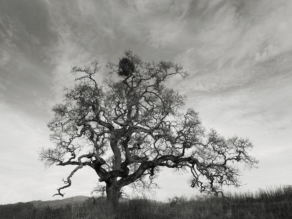 An Oak with Mistletoe