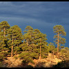 "Ponderosa Pine Trees During the ""Golden Hour"""
