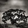 Calero Trailhead Tree