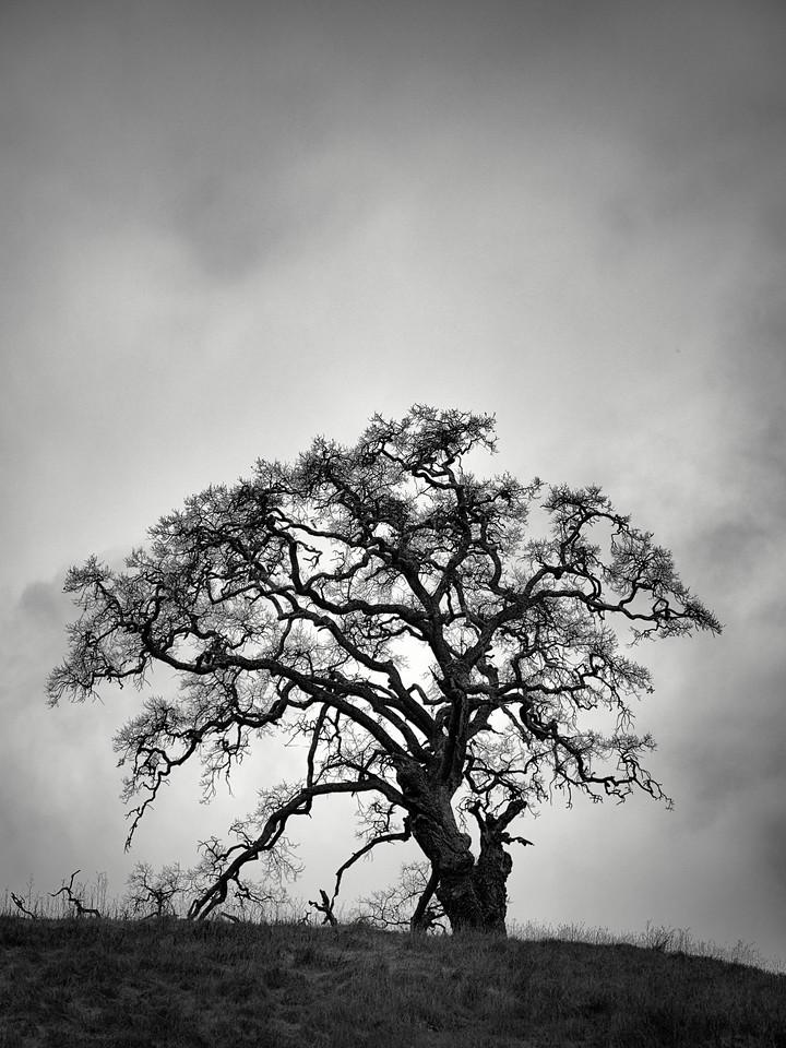 Alamitos Tree