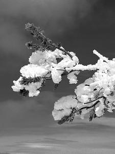 A snow-plastered alpine tree branch