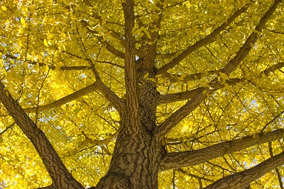 Maidenhair Tree During Autumn