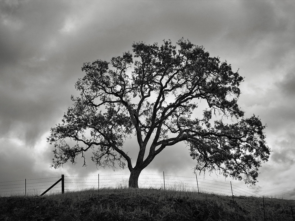Oak Tree and a Fence