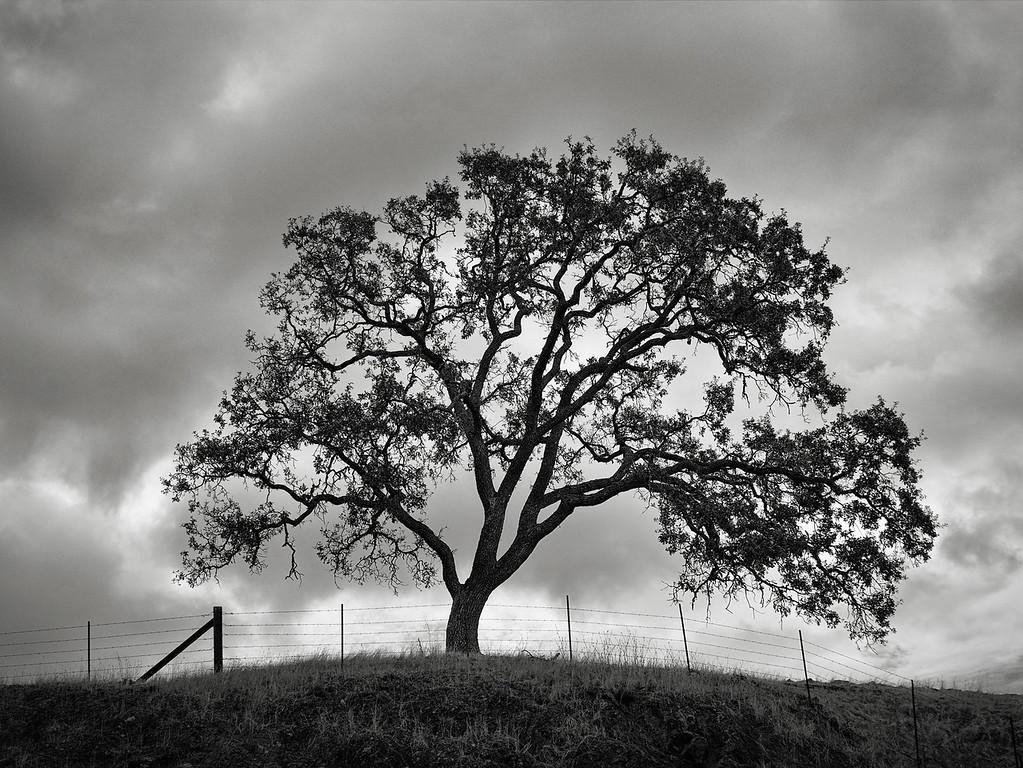 Oak Tree and a Fence