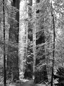 North Coast Redwoods