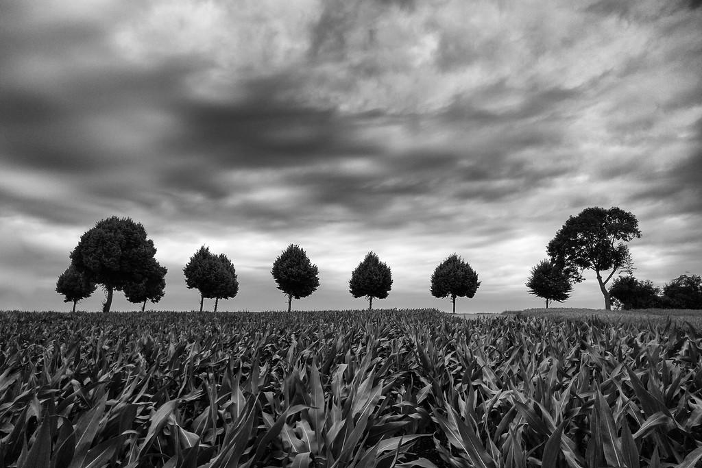 Eine Reihe Bäume hinterm Maisfeld