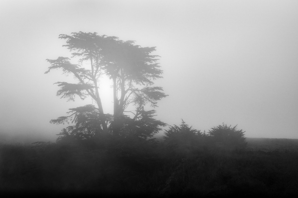 Coastal Tree in Summer Fog