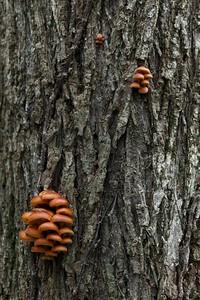 Fungi (Flammulina velutipes) on Tree Bark