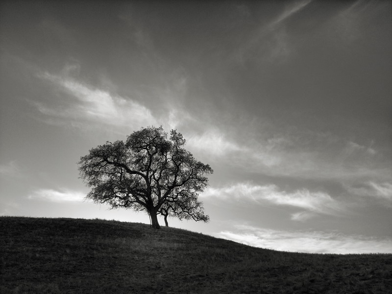 Oak Tree at Calero